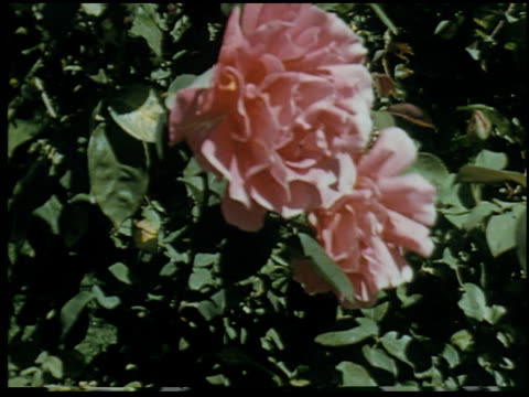 [amateur film: san francisco, santa cruz and farm, 1956] - 3 of 10 - santa cruz california stock videos and b-roll footage