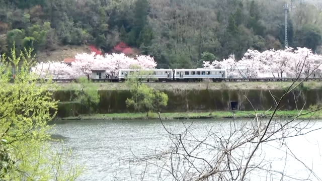 amateur photographers clicked shutters and pink petals rode on the breeze as a train on the jr sanko line connecting miyoshi, hiroshima prefecture,... - shimane prefecture stock videos & royalty-free footage