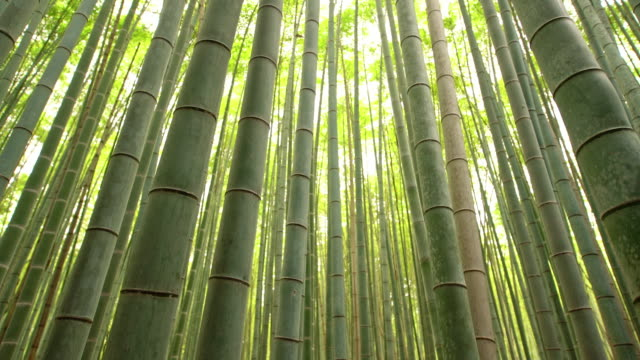 stockvideo's en b-roll-footage met ms amazing bamboebos in japan - bamboo plant