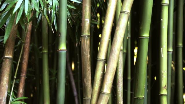 vídeos de stock, filmes e b-roll de incrível floresta de bambu, maui, havaí - folha de bambu