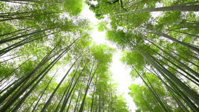 ws la amazing bamboos in japan - bamboo plant stock videos and b-roll footage