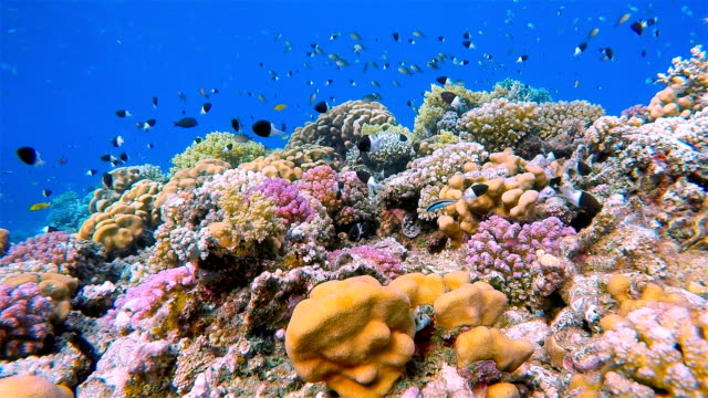 vidéos et rushes de magnifique récif corallien avec beaucoup de fisch sur la mer rouge - organisme aquatique