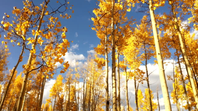 amazing fall colors of aspens against blue sky - aspen tree stock videos & royalty-free footage