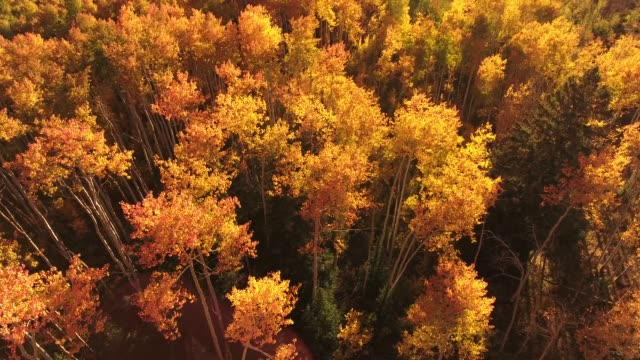 amazing looking down on aspen trees aerial, drone, 4k, rocky mountains, amazing, autumn, colorful, colors, fall, forest, leaves, red, trees, aspen, yellow, colorado, kebler pass, mountain, grove, raw.mov - aspen tree stock videos & royalty-free footage