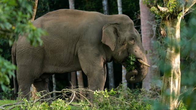 erstaunlich der asiatischen elefanten essen - tierische nase stock-videos und b-roll-filmmaterial