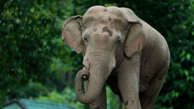 amazing of asian elephants , slow motion - endangered species stock videos & royalty-free footage