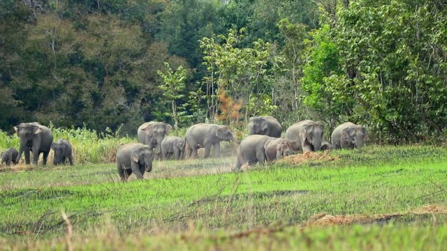 Amazing of Group asian elephants a playing at khao yai national park in Thailand, slow motion