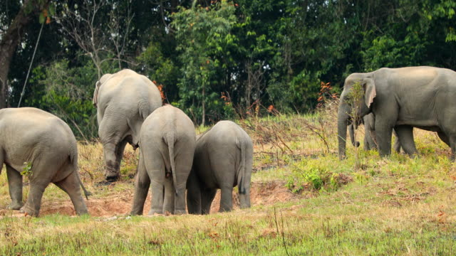 Amazing of Group asian elephants a playing at khao yai national park in Thailand