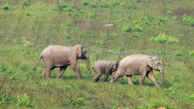 Amazing of Group asian elephants , slow motion