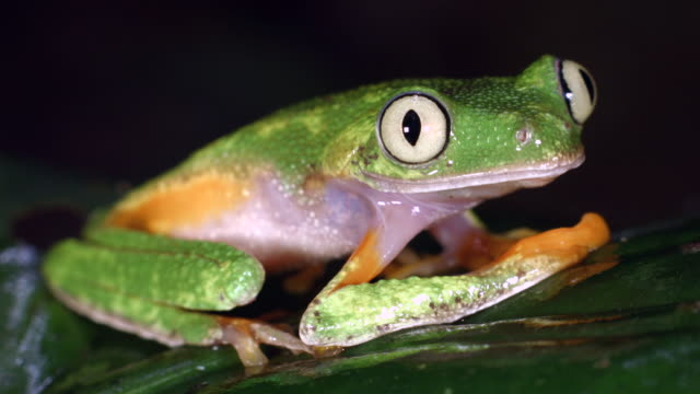 Amazon Leaf Frog (Agalychnis hulli) blinks and turns around
