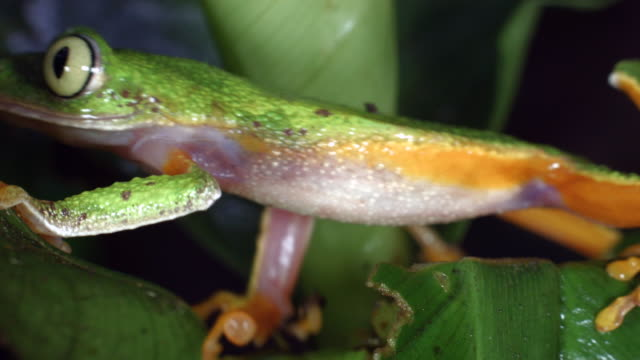 Amazon Leaf Frog (Agalychnis hulli) climbing over a rainforest understory plant