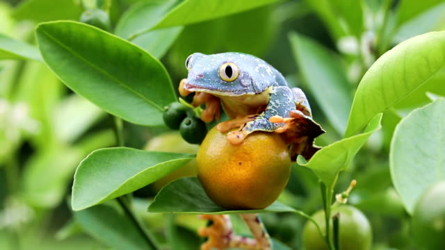 Amazon Leaf Frog /Fringe Tree Frog (Cruziohyla craspedopus) in Fruit Tree - 4K Video