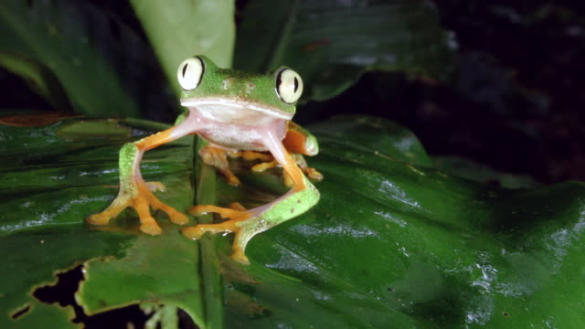 Amazon Leaf Frog (Agalychnis hulli) on a leaf above a rainforest stream, blinks eyes