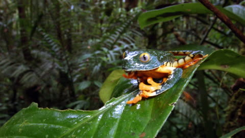 amazon leaf frog (cruziohyla craspedopus) on a leaf in the rainforest understory, ecuador - insect stock videos & royalty-free footage