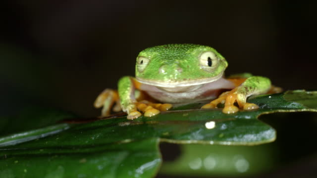 amazon leaf frog (agalychnis hulli) on a rainforest leaf, blinks eyes - rainforest stock videos & royalty-free footage