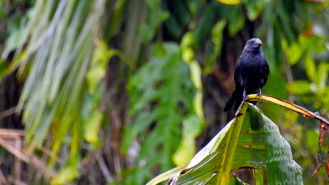 amazon rainforest birds greater ani - songbird stock videos & royalty-free footage