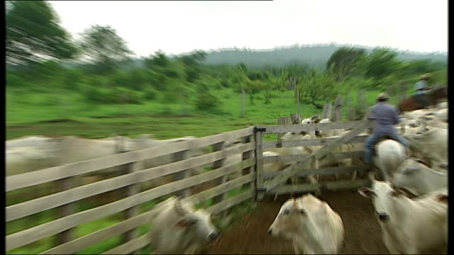 cattle ranch; brazil: amazon basin: amazonas: near apui: ext various shots of cattle hands on horseback herding cattle into pens on ranch - ranch stock videos & royalty-free footage