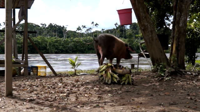 amazonian daily life. - livestock stock videos & royalty-free footage