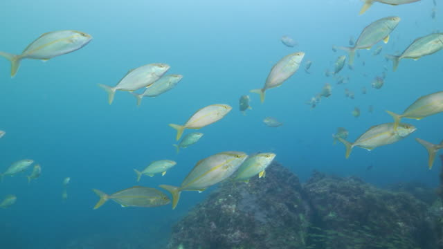 Amberjack swimming close to camera