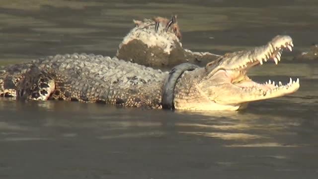 stockvideo's en b-roll-footage met ambientalistas de indonesia libran una carrera contra el tiempo para localizar y salvar a un cocodrilo de agua salada que tiene un neumatico de... - agua