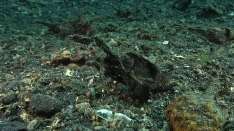 ambon scorpionfish - drachenkopf stock-videos und b-roll-filmmaterial