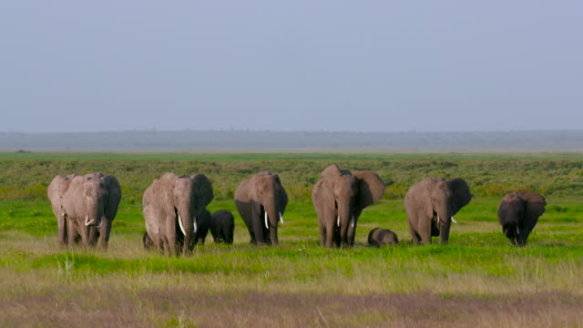 vidéos et rushes de amboseli & just outside - éléphanteau