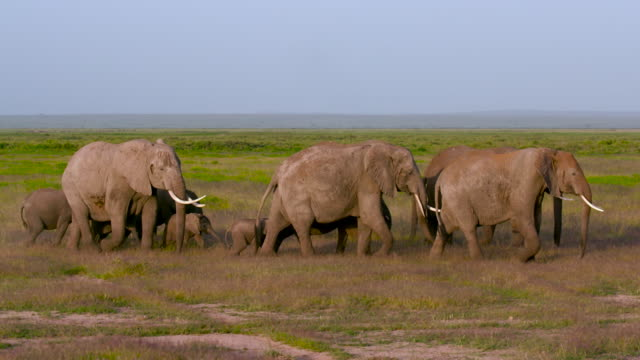 amboseli & just outside - animal family stock videos & royalty-free footage