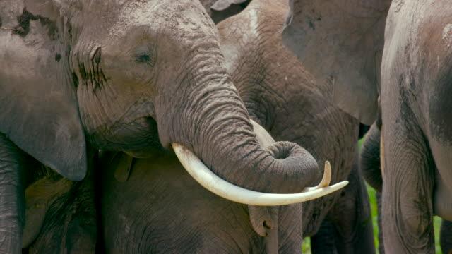 vídeos y material grabado en eventos de stock de amboseli - grupo mediano de animales