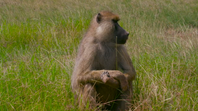 amboseli - baboon videos stock videos & royalty-free footage