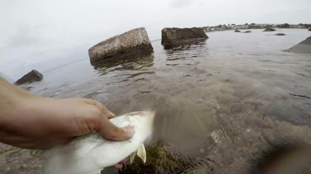 vídeos de stock, filmes e b-roll de ameberjack peixe. - peixe de água salgada