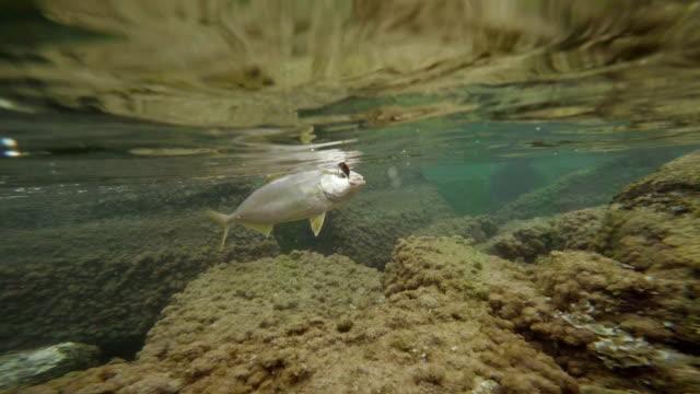 ameberjack fish - hook stock videos and b-roll footage