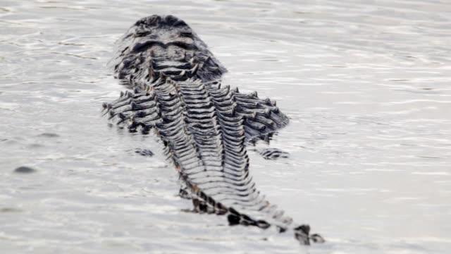 American Aligator swimming away in the Everglades