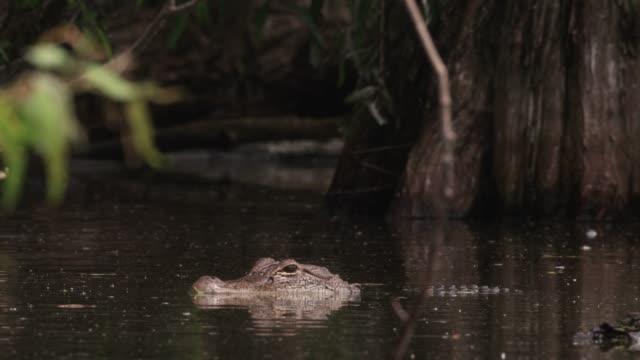 American alligator in swamp, USA