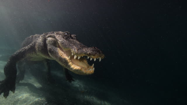 american alligator moves his head below the surface of the water - alligator stock videos & royalty-free footage