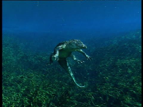 vídeos y material grabado en eventos de stock de american alligator sinks down from surface to grass bed, facing camera, florida everglades. - parque nacional everglades