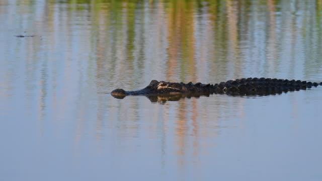 vídeos y material grabado en eventos de stock de american alligator swimming in a florida lake - salir del agua