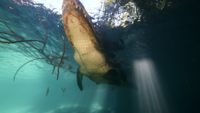 American alligator swims overhead at the surface of the water