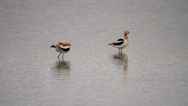 american avocets - animal attribute stock videos and b-roll footage