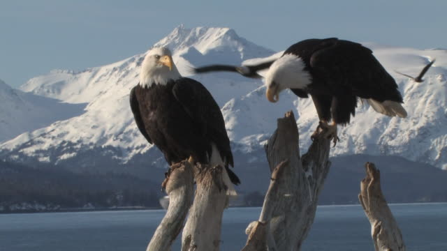 american bald eagles on a tree with snowy mountains - homer alaska stock videos & royalty-free footage