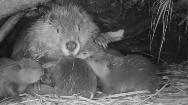 american beaver (castor canadensis) and cubs in lodge, wyoming, usa - beaver stock videos & royalty-free footage