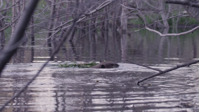 american beaver (castor canadensis) carries food to lodge, wyoming, usa - beaver stock videos & royalty-free footage