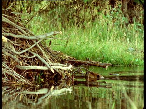 american beaver clambers onto lodge carrying building material, montana - nido di uccello video stock e b–roll