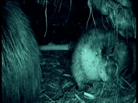 american beaver covers hidden camera with bedding in its lodge, montana - ビーバー点の映像素材/bロール