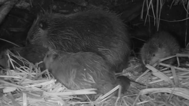 american beaver (castor canadensis) cubs play and frolic inside lodge, wyoming, usa - beaver stock videos & royalty-free footage
