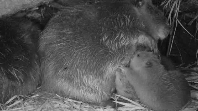 american beaver (castor canadensis) cubs suckle inside lodge, wyoming, usa - beaver stock videos & royalty-free footage