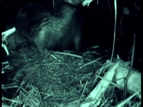 american beaver drags log from under water larder into the lodge in winter, montana - ビーバー点の映像素材/bロール