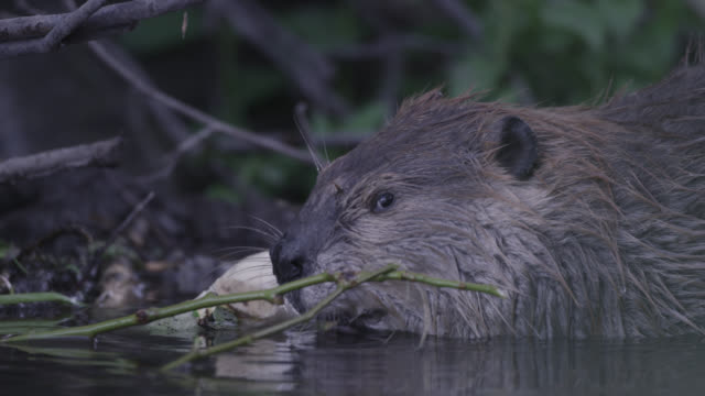 american beaver (castor canadensis) feeds on tree branch in pond, wyoming, usa - beaver stock videos & royalty-free footage