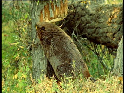 american beaver fells trees, montana - erektion stock-videos und b-roll-filmmaterial