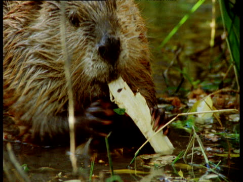 american beaver gnaws at bark from felled tree at edge of its lake, montana - chewing stock videos & royalty-free footage