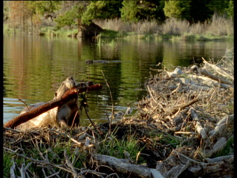 American beaver hauls log out of lake and onto its dam, Montana